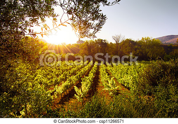 Vineyard at Sunset - csp11266571