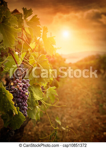 Vineyard in autumn harvest - csp10851372