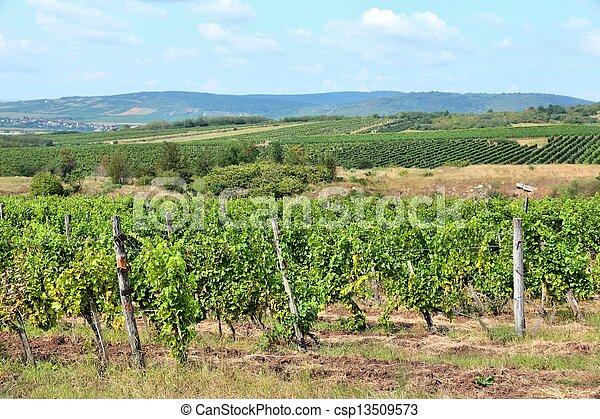Vineyard in Hungary - csp13509573