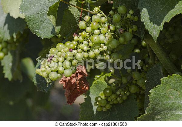 vineyard in spring - csp21301588