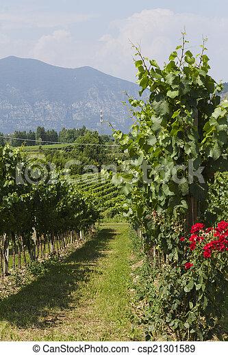 vineyard in spring - csp21301589