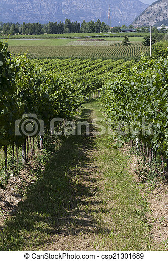 vineyard in spring - csp21301689