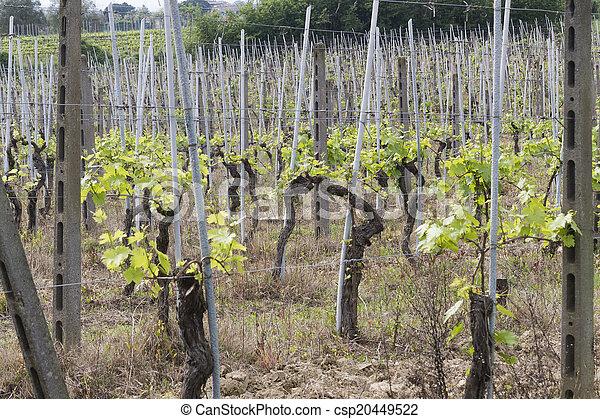 vineyard in spring - csp20449522
