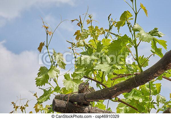 vineyard in spring - csp46910329