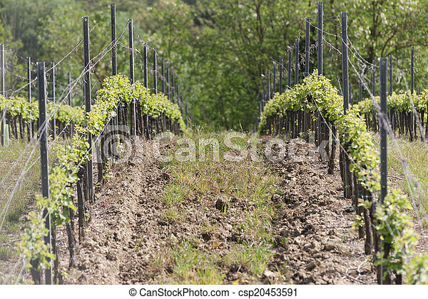vineyard in spring - csp20453591