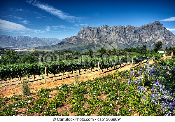 Vineyard in stellenbosch, South Africa - csp13669691