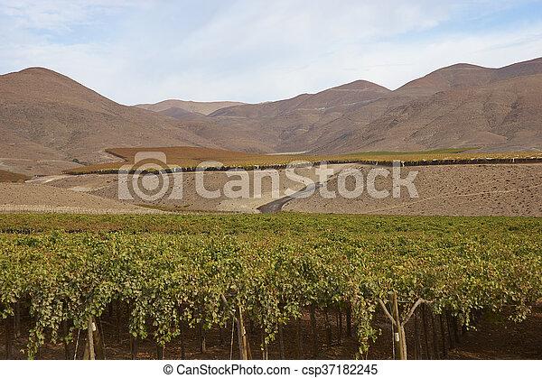 Vineyard in the Atacama - csp37182245
