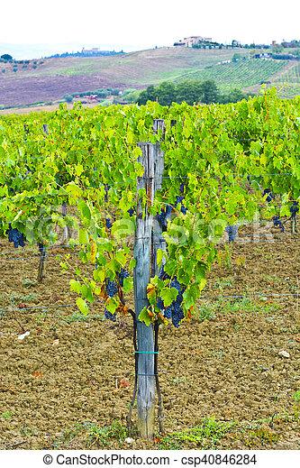 Vineyard in the Autumn - csp40846284