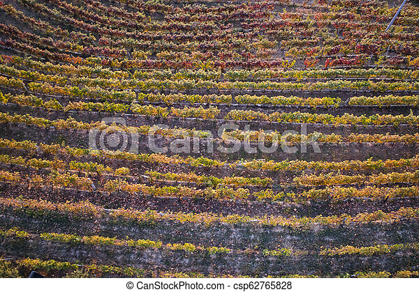 Vineyard in the autumn - csp62765828