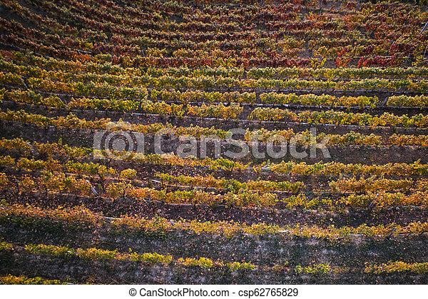 Vineyard in the autumn - csp62765829