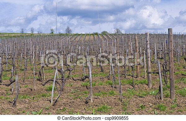 Vineyard in Tokaj - csp9909855