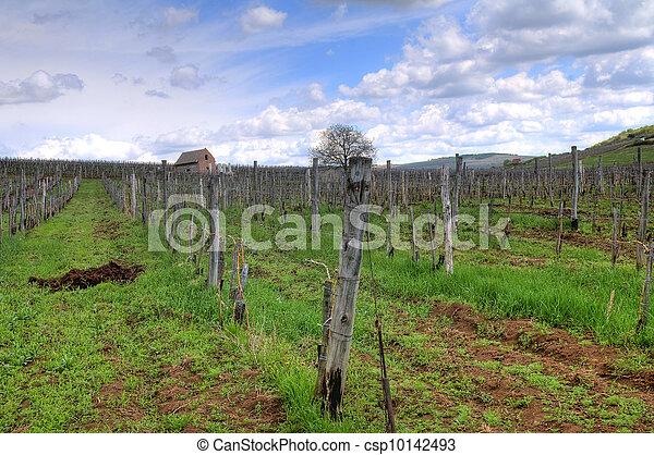 Vineyard in Tokaj - csp10142493