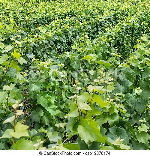 Vineyard landscape - csp19378174