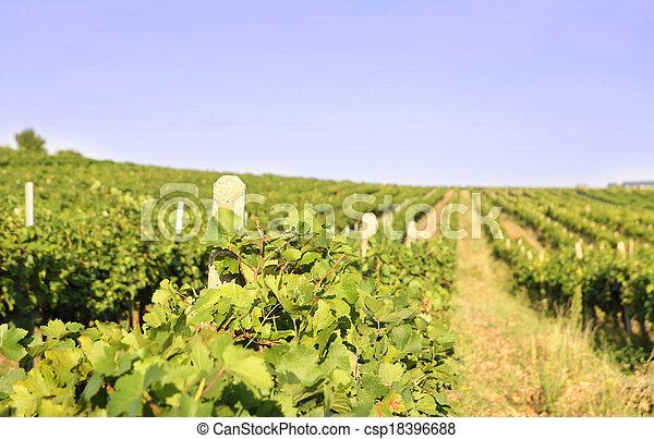 vineyard landscape - csp18396688
