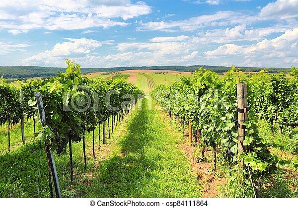 Vineyard landscape - csp84111864