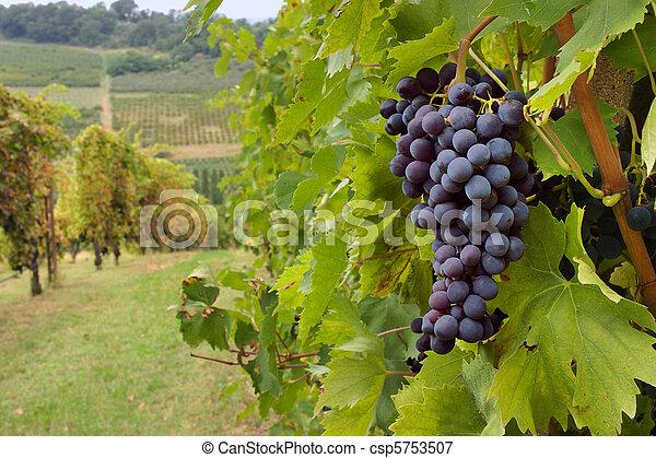 vineyard  - csp5753507