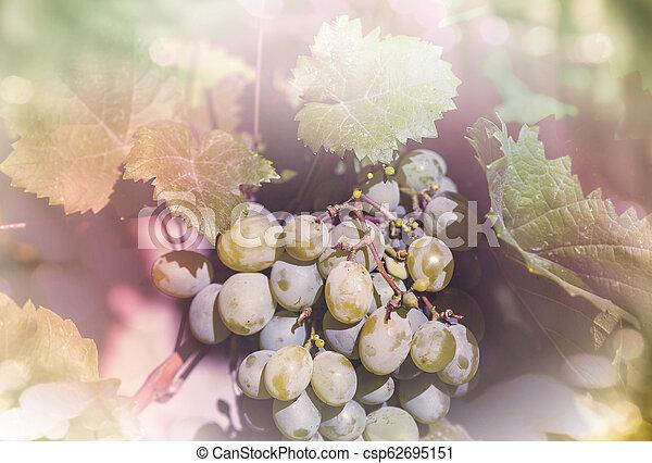 Vineyard - csp62695151