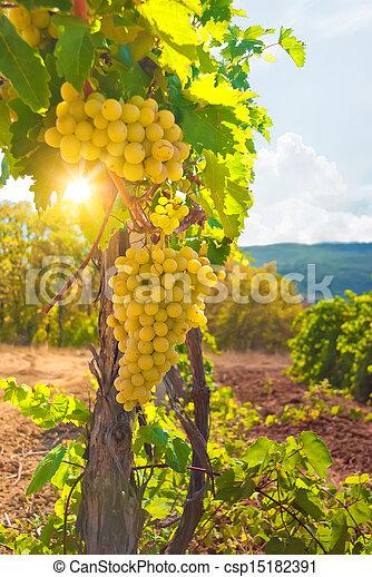 Vineyard - csp15182391