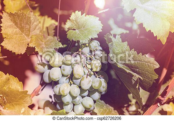Vineyard - csp62726206