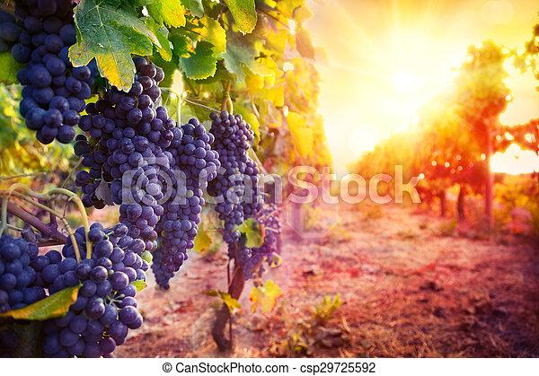 vineyard with ripe grapes - csp29725592