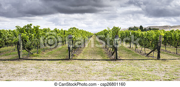 Vineyard with ripe red grapes - csp26801160