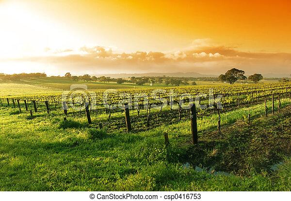 vinhedo, amanhecer - csp0416753
