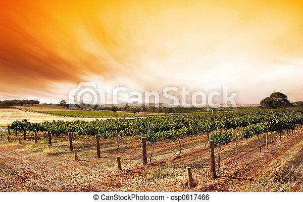 vinice, léto, východ slunce - csp0617466
