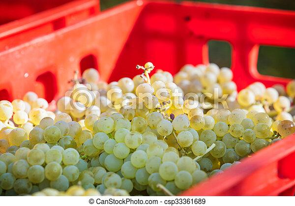 Vintage, grape harvest - csp33361689