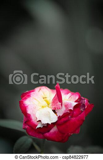 Vintage rose on gray background - csp84822977