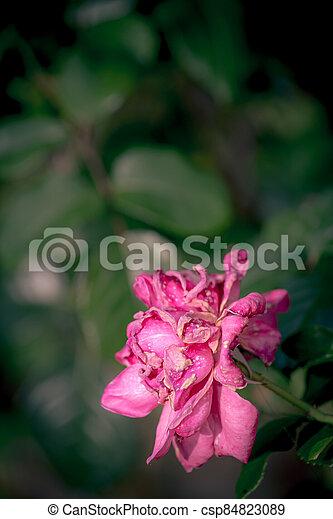 Vintage rose on gray background - csp84823089