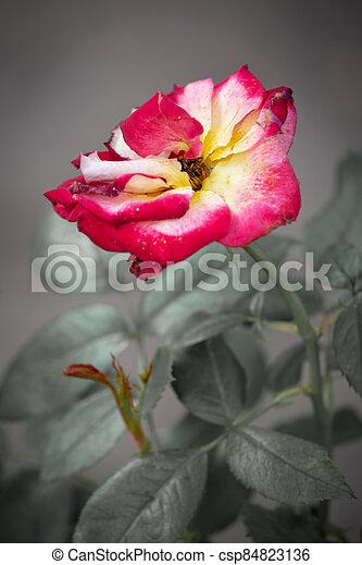 Vintage rose on gray background - csp84823136