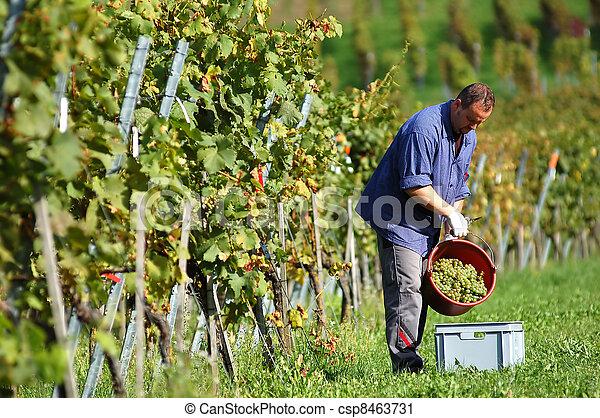 Vintner in the vineyard - csp8463731