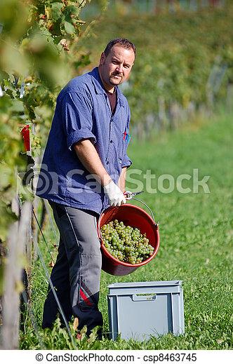 Vintner in the vineyard - csp8463745