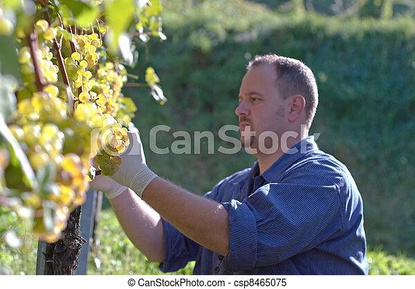 Vintner in the vineyard - csp8465075
