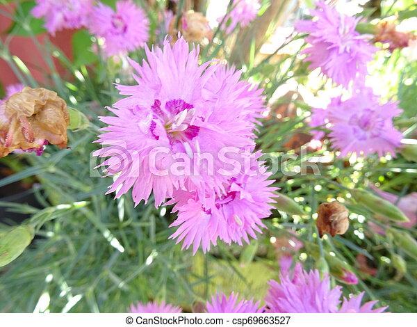 Violet Flowers in a Garden - csp69663527