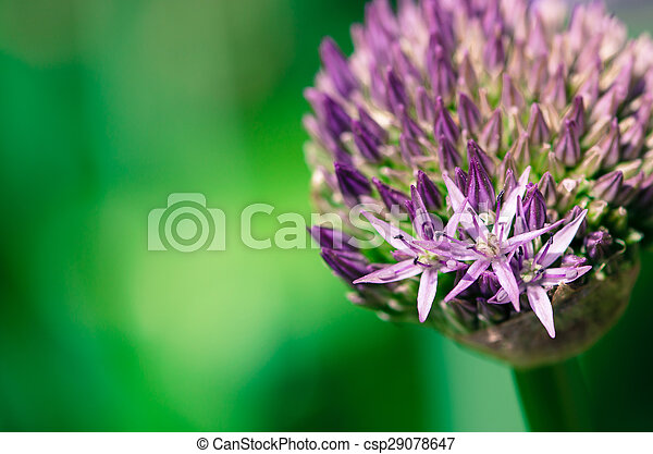 violet garlic flower - csp29078647