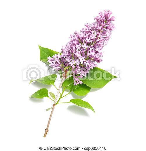 Violet lilac branch - csp6850410