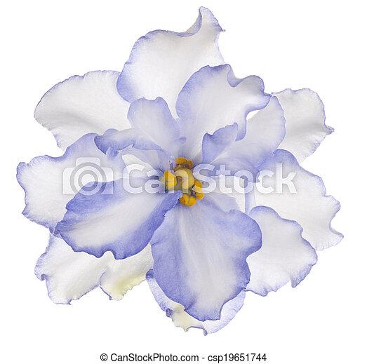 Violeta africana - csp19651744