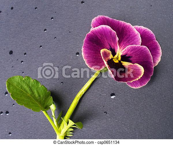 Violet - csp0651134