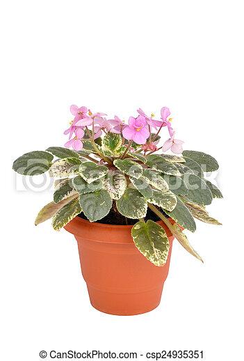 Violets or Saintpaulia flowers in flowerpot - csp24935351