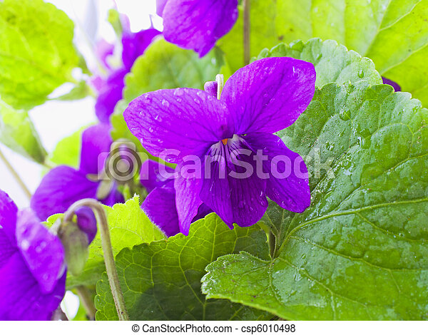 violett - csp6010498