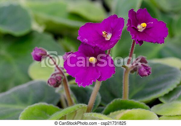 Violette africaine photo de stock rechercher images et for Violette africane