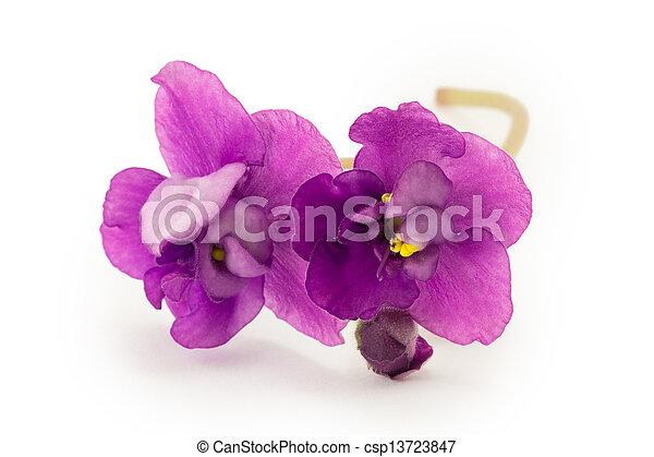 viooltje, witte bloem, vrijstaand, achtergrond - csp13723847