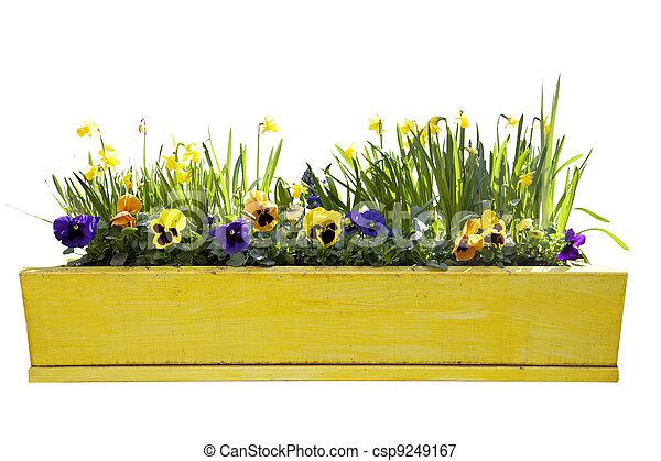 virágcserép, nárciszok, sárga - csp9249167