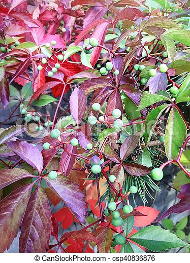 Virginia Creeper Beautiful Virgina Creeper Plant With Red Leaves And Green Berries,White Cloud Mountain Minnow Fry