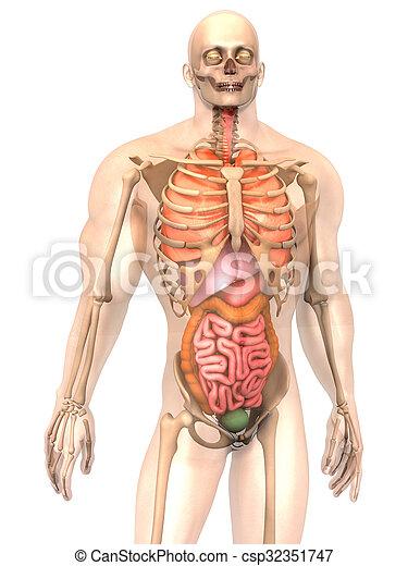 Visualisation Anatomie Interne Humain Organes Visualisation