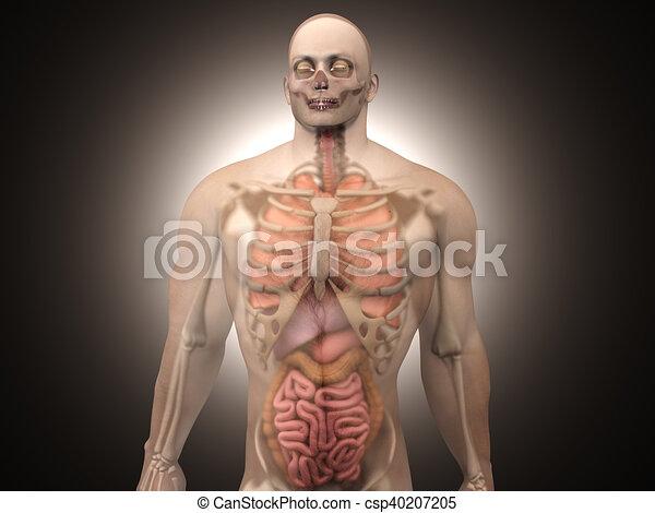 Visualización, -, anatomía, interno, humano, órganos. Visualización ...