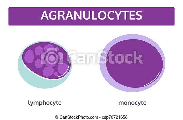 vit, agranulocytes, blod, cells. - csp70721658