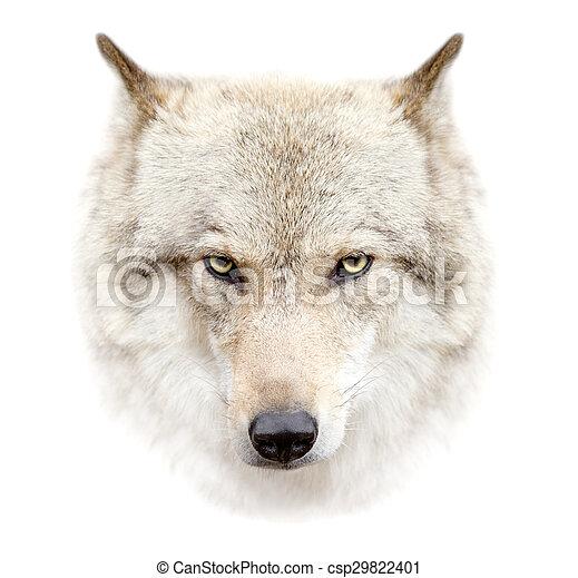 vit wolf, bakgrund, ansikte - csp29822401