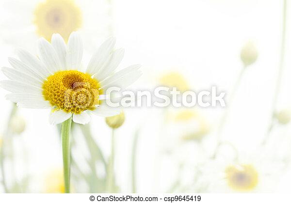 vita blomma, mjuk, bakgrund, tusensköna - csp9645419